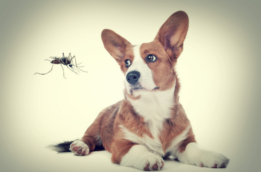 mosquito-and-dog.png